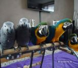 Macaw and African Grey parrots for sale