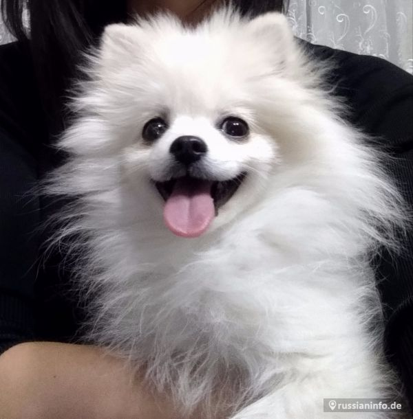 Sale Pomeranian puppy male
