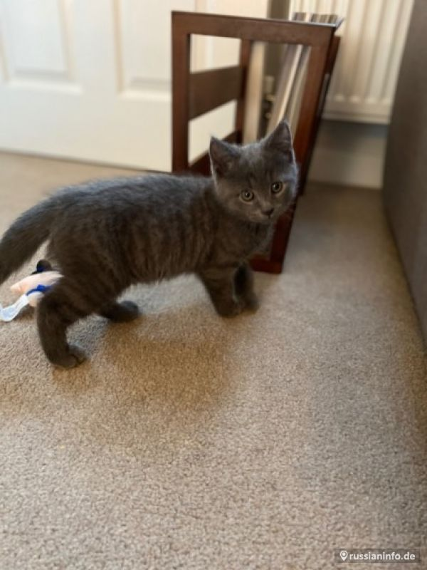 Grey Blue British Shorthair